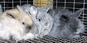 Chinchilla, Blue tort, and blue babies out of Nephthys and Luis