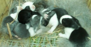 Serket's first litter sired by Spyro. 7 Blue, Black and Gray babies